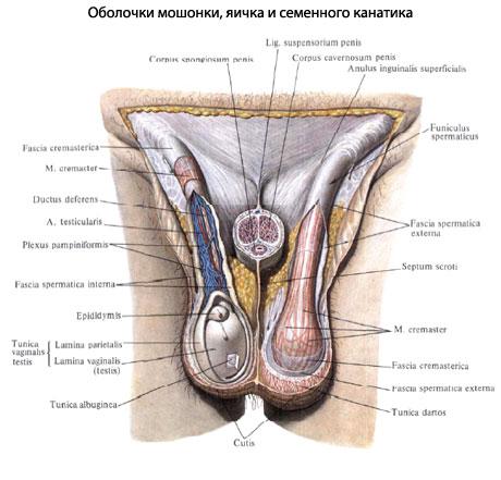 Что такое мошонка фото – Что такое мошонка у мужчин — фото, строение и анатомия, где находится и как выглядит орган